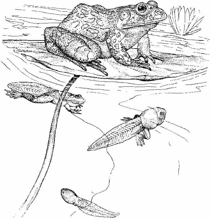 Frog Life Cycle Coloring Pages Frog Coloring Pages Bear Coloring Pages Coloring Pages