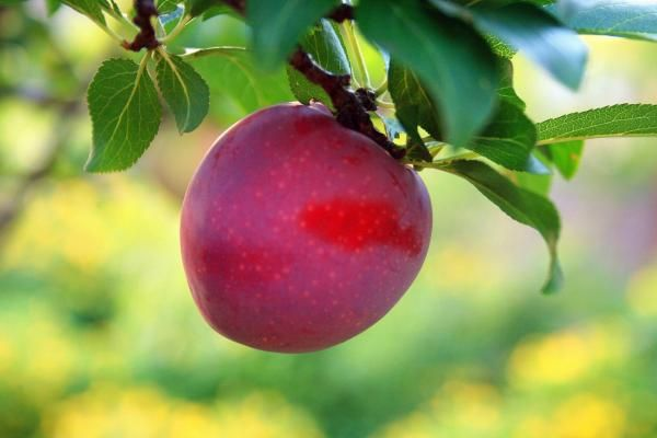 Como plantar ameixa. A ameixeira, conhecida também como Prunus domestica, é uma árvore de folha decídua que é bastante conhecida pelos seus frutos. Para além disso, é das poucas árvores de frutos que podem ser plantadas e...