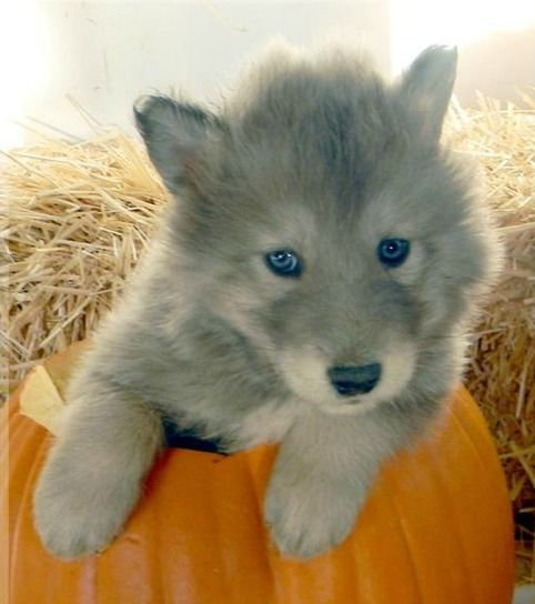 wolf-husky mix.. buy me one please