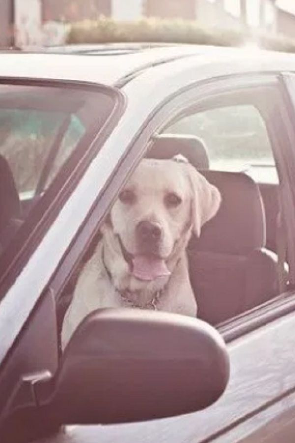 Picture Dog Waiting In Car For Them To Go Back