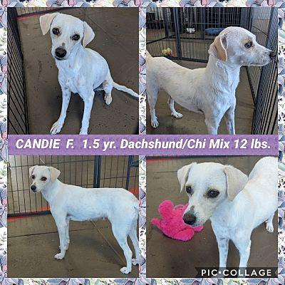 Mesa, AZ Dachshund. Meet CANDIE a Pet for Adoption