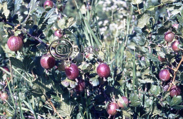 Ribes e Uva spina: ecco alcune notizie utili – Nicola Noe