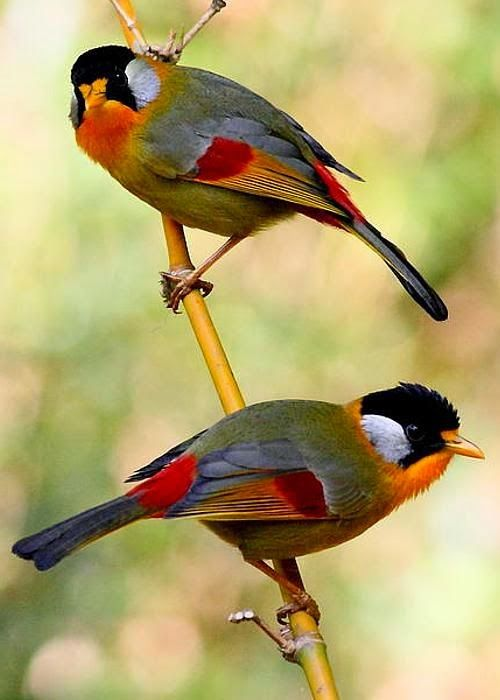 Birds-Our feathered friends - Silver-eared Mesia Thailand