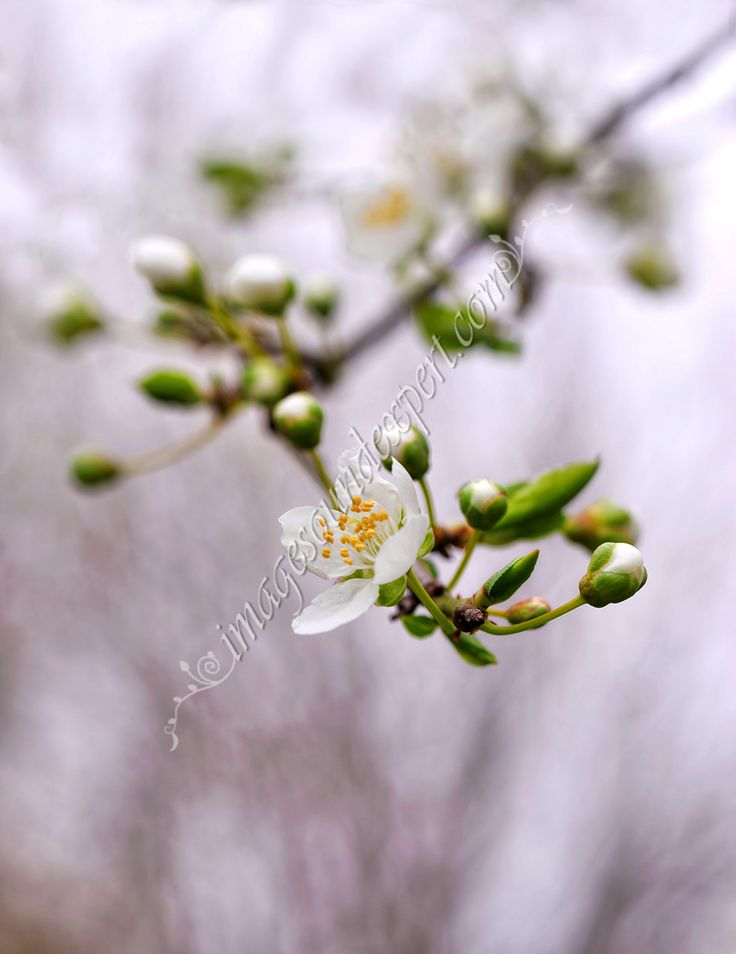 white apricot spring  background