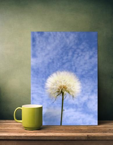 @Displate #print #dandalion #photography #homeDecoration #WallArt #print #flower #nature #metalPrint