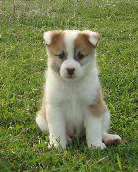 Icelandicsheepdogpuppies Icelandic Sheepdog Puppies Enjoy