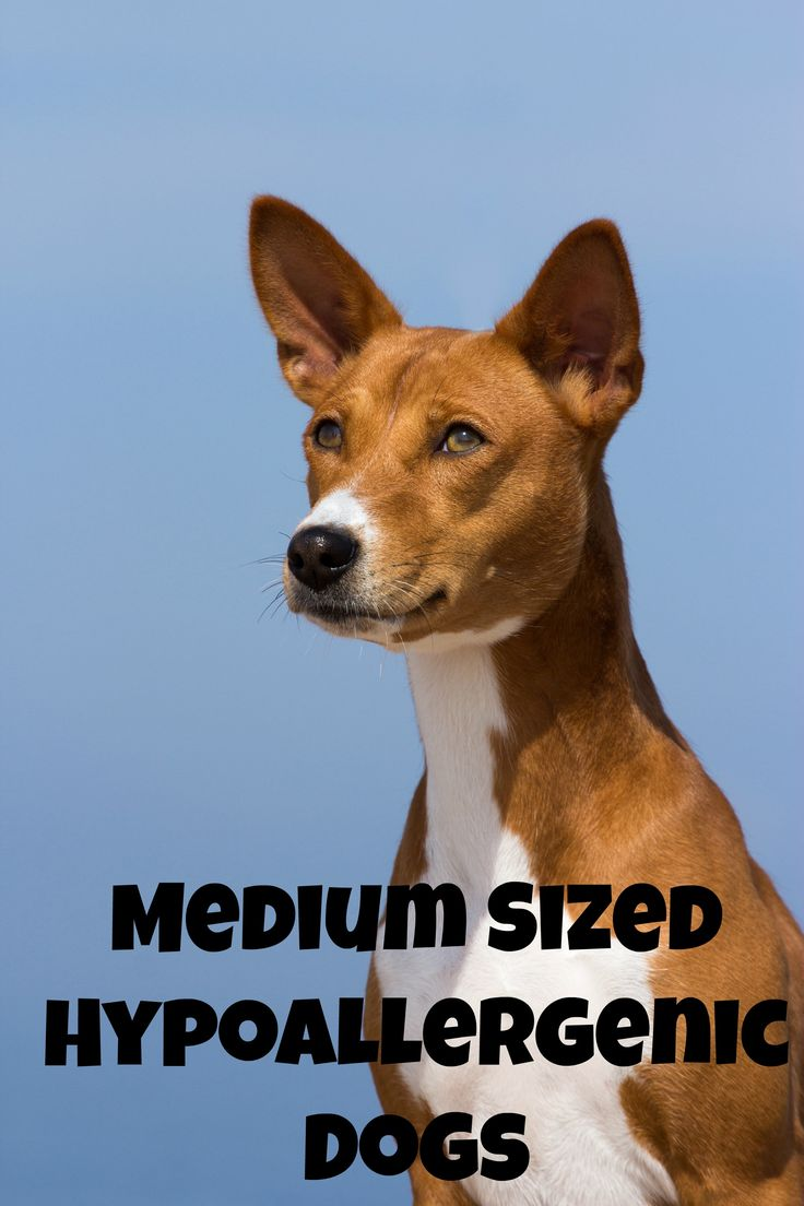 Medium Sized Guard Dog Breeds