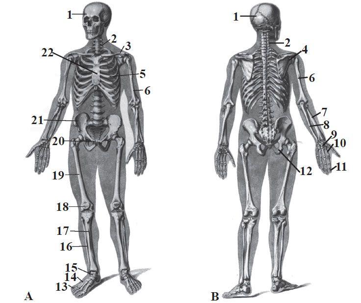 Scheletul uman coloana vertebrala