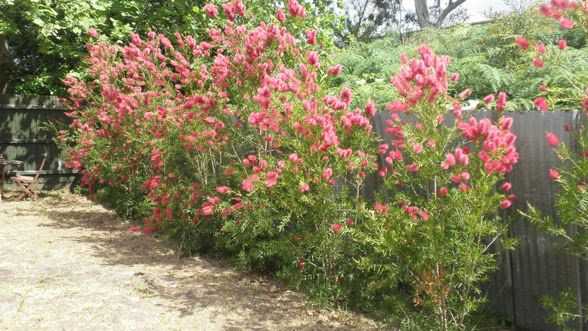 Grevillea hedge loose dramatic orange-pink flowers winter through spring. Grows to 10 feet tall, 15 feet wide. Low water, well draining soil, avoid high phosphorus fertilizers. Full sun. Plant 8 feet on center.