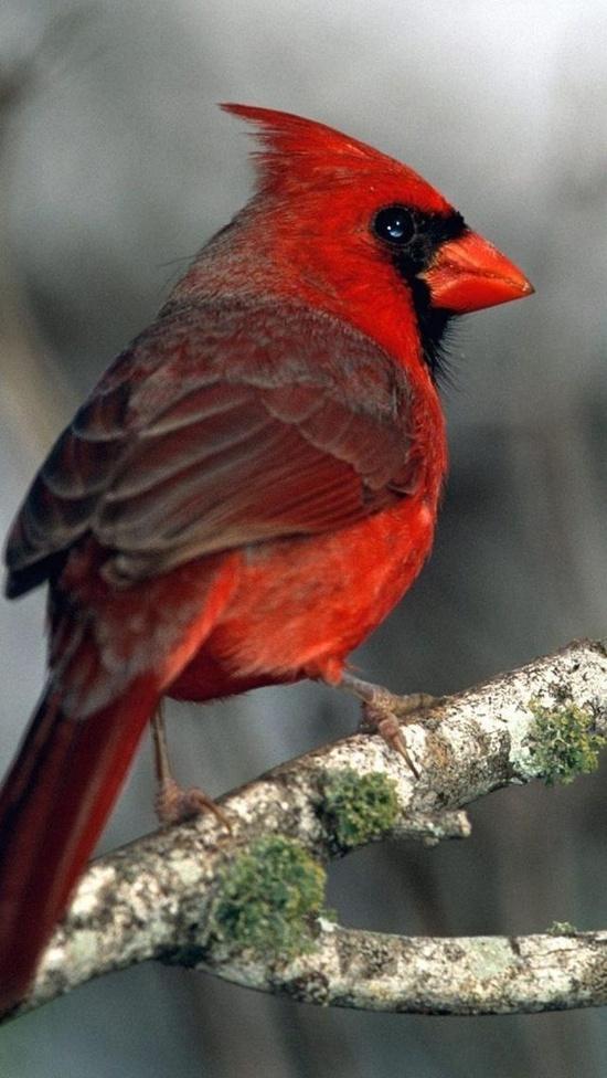 229 Best Red Bird Cardinals Images On Pinterest Cardinals