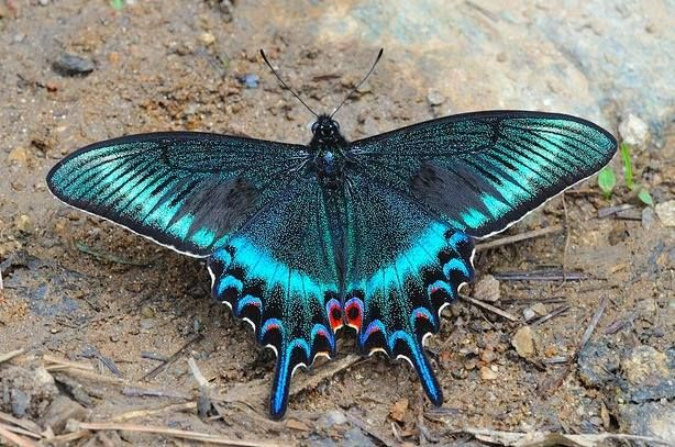 Alpine black swallowtail butterfly, Papilio maackii, found in Asia, Japan, China and South Korea. ~via Butterfly Lady, FB