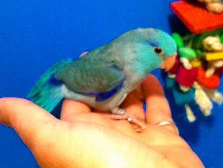 Parrotlets for sale - 59.00 Shipping