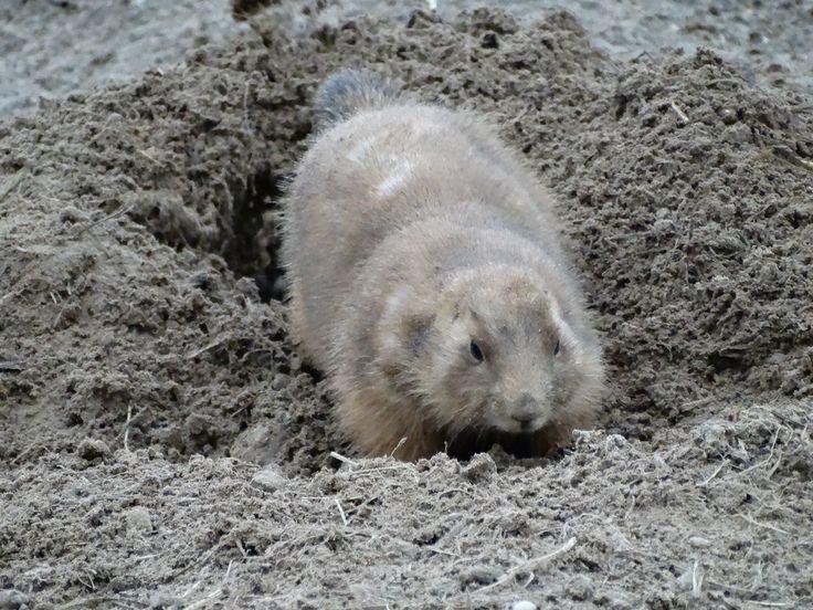 Prairie dog digging in the sand - Wildlands Adventure Zoo Emmen - 04-03-2017 By Tjaard Polet