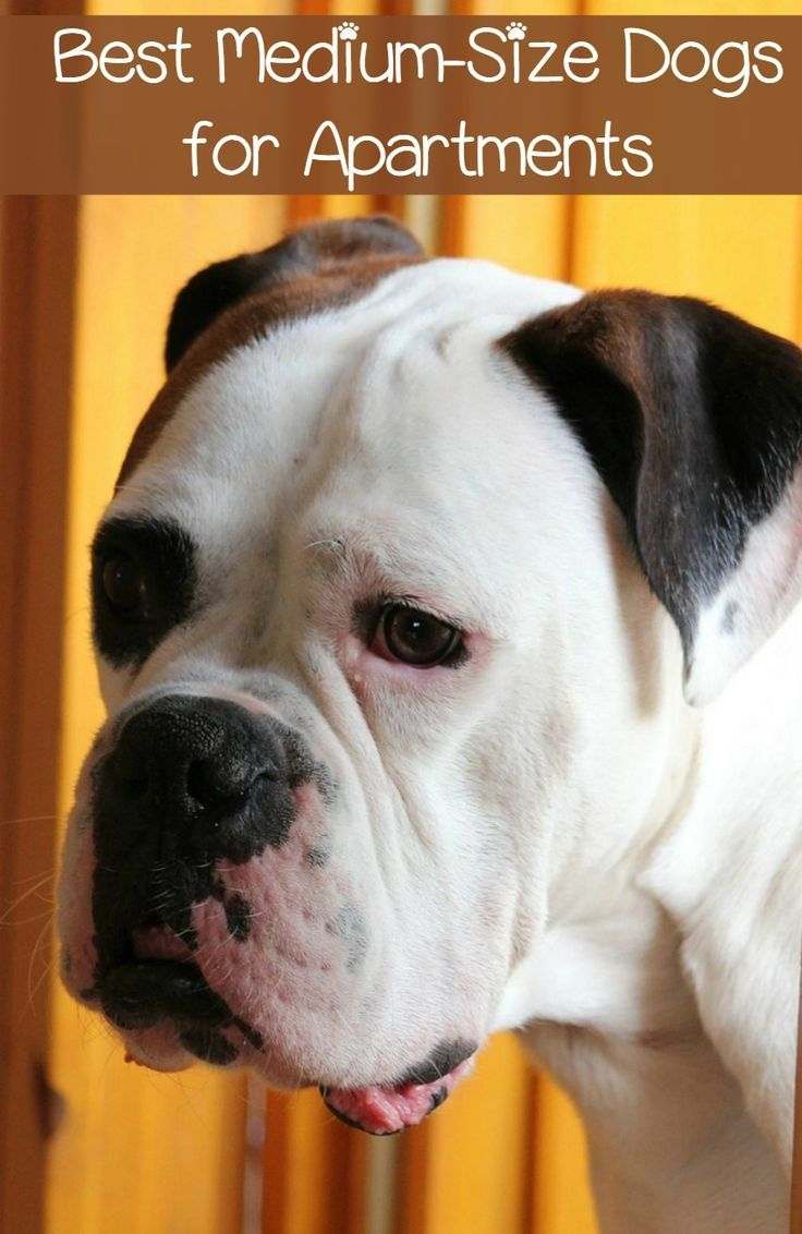 Best Medium Sized Dogs For Apartments
