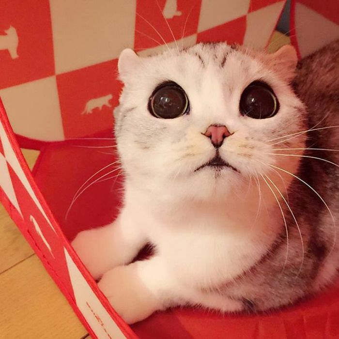 Meet Hana, A Japanese Kitty With Incredibly Big Eyes Who Is Taking Instagram By Storm