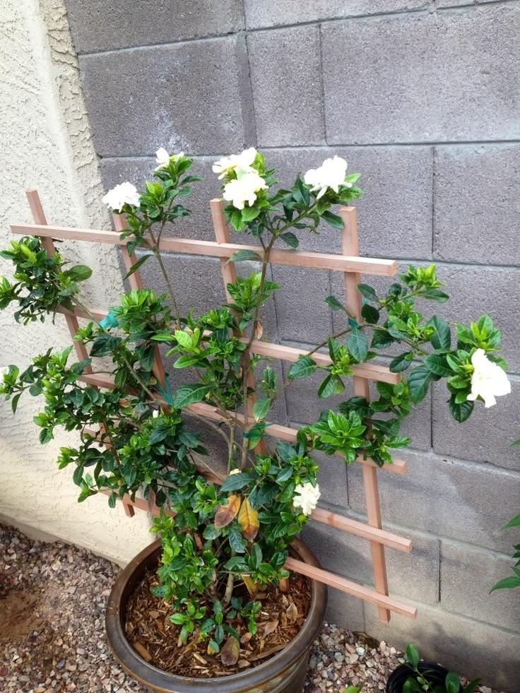 inspiring gardenia house plant. GARDENIA TREE trellis trained  129 best Gorgeous Gardenias images on Pinterest Jasmine