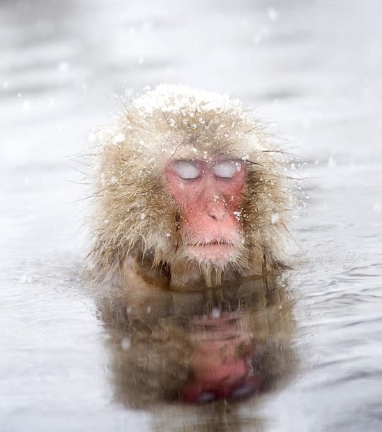 Chill: The Japanese macaque is the most northern-living non-human primate in the world and favors hanging out in hot springs! via telegraph.co.uk #Japanese #Macaque