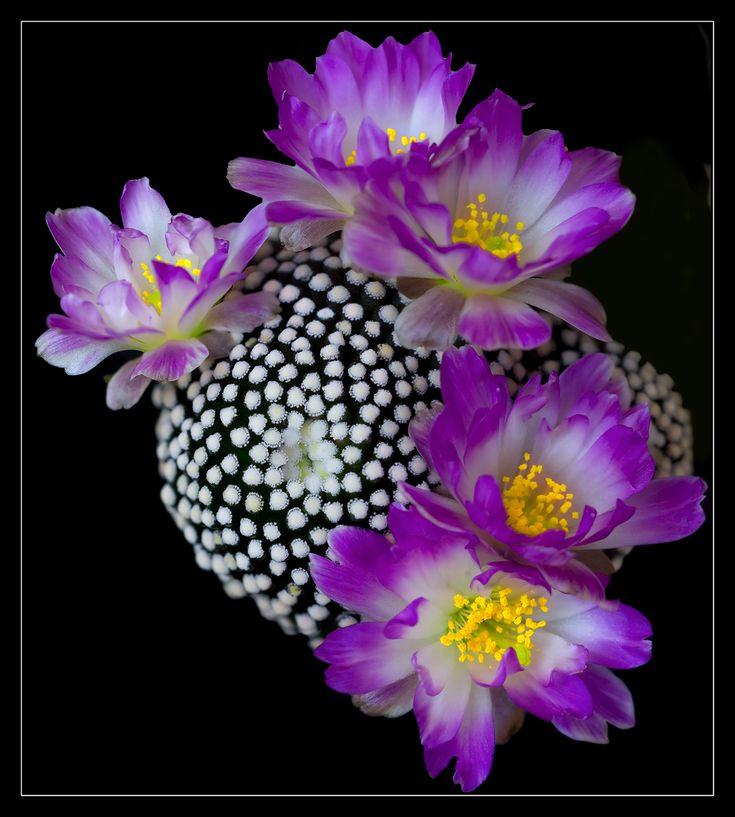 Cactus flowers (Mammillaria luethii)