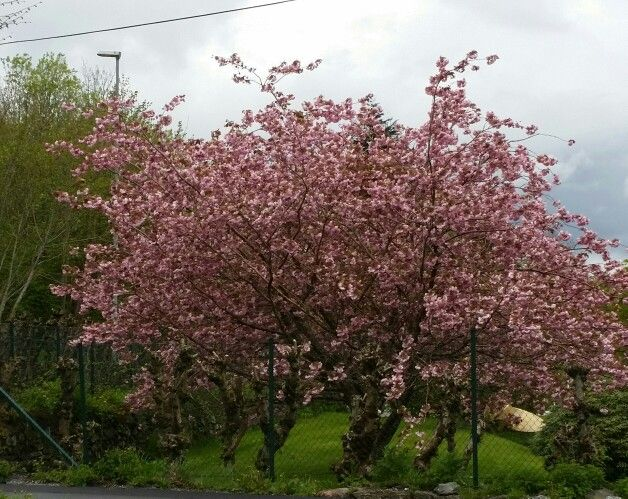 I love to see this tree  with full of flowers.