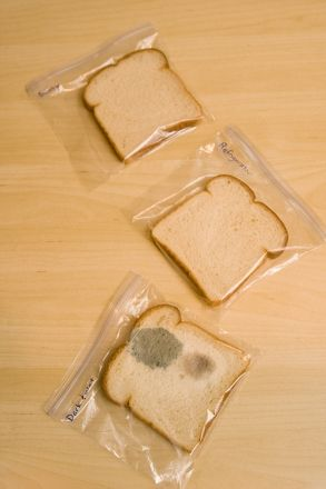 Bread Mold Experiment. Help students develop good hypothesis making skills.
