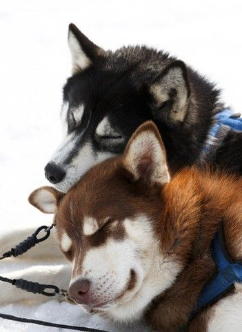sleeping sled dogs - zzzzzzzzzzzzz! :o)