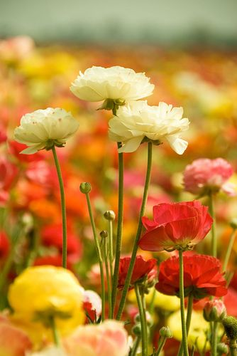 The Flower Fields, Carlsbad, CA: The ranunculus flower is a member of the buttercup family and is native to Asia Minor.