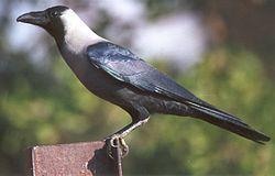 El cuervo casero o cuervo indio (Corvus splendens)2 es una especie de ave paseriforme de la familia de los córvidos (Corvidae), ampliamente distribuido por el sur y sudeste de Asia. Existen también diversas poblaciones en el África oriental y en varios enclaves costeros del Mar Rojo.  Este ave se encuentra actualmente en la lista de especie exóticas invasoras preocupantes para la Unión Europea.3