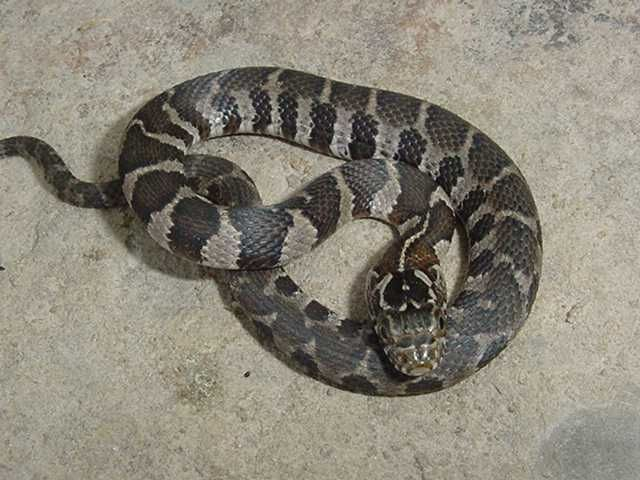 northern water snake   Reptiles - Snakes   Pinterest ...