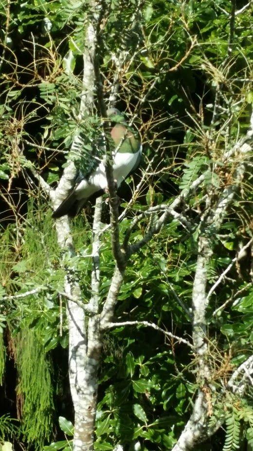 Wood pigeon in kowhai tree