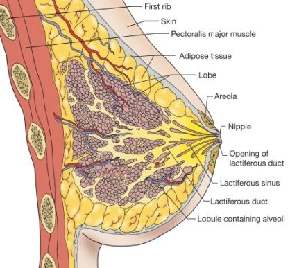 24 best images about all about women! body-anatomy-reproductive, Muscles
