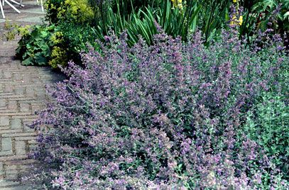 Catmint 'Six Hills Giant' (Nepeta 'Six Hills Giant') Height: 0.45m Spread: 0.6m