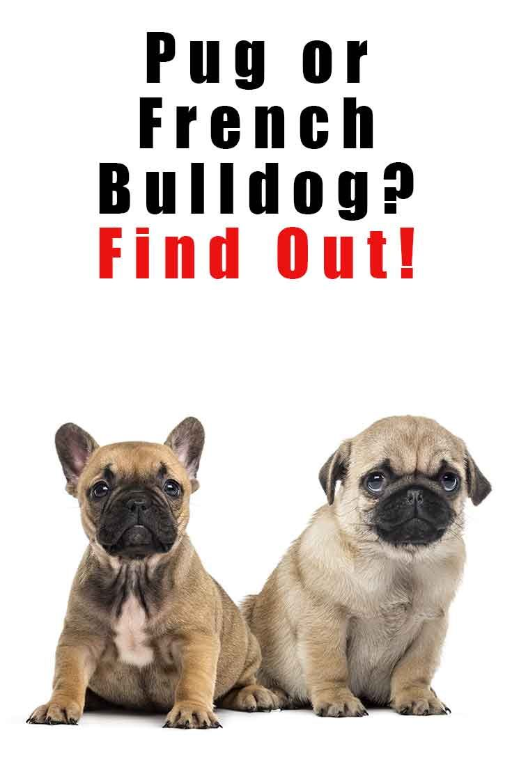 French Bulldog Vs Pug What You Need To Know French Bulldog Pugs