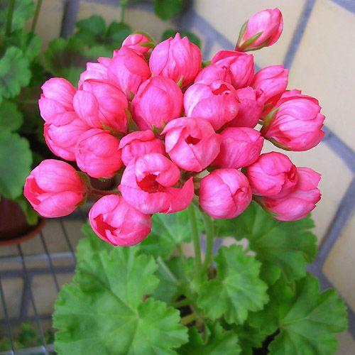 Одном букете, где купить цветы герани тюльпановидной