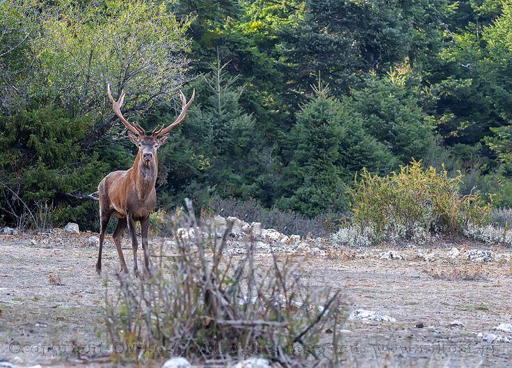https://flic.kr/p/MwsAEK | Deer on Mount Parnitha