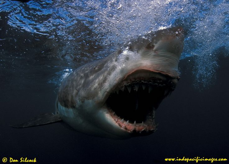 Great White Shark attacking - see more on http://www.indopacificimages.com/index.php/australia-2/great-white-shark-cage-diving/
