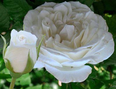 'Annapurna' - Dorieux (2000). De meest geurende van alle witte rozen. Geschikt voor inplanting achter een buxus haag langs de rand van borders en wandelpaden. Stevig, compact, erg gezond. Parfum van viooltjes, verdraagt half schaduw . Reeds 16 keer bekroond in internationale wedstrijden. Hoogte: 80 cm.