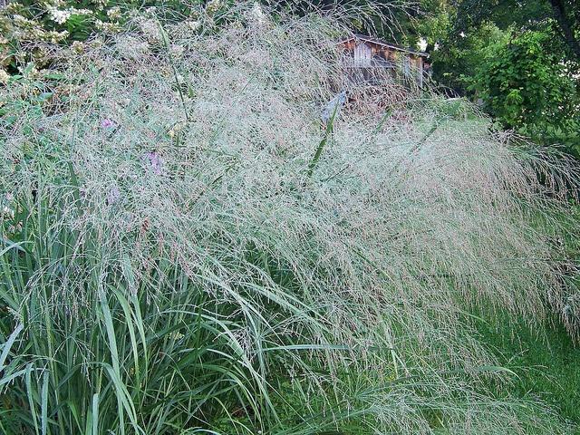 Panicum virgatum 'Prairie Sky' - Switch Grass | Grasses ...