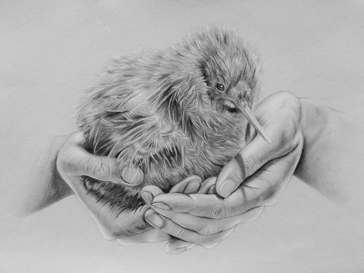 Kiwi Bird sitting on hands, pencil drawing, Zeichnung - by Josephine Doege