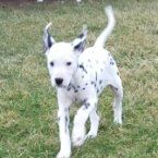 Roxie is a female Dalmatian puppy for sale at PuppySpot. Call us today to learn more (reference 538145 when you call).
