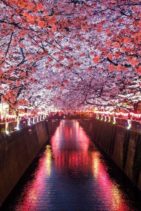 Cherry Blossoms Meguro River Japan Japan Photography Nature Photography Landscape Photography Nature