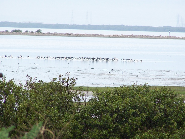 Lots of Pelicans. Photo by Kevin Collins of St Kilda, South Australia. Thank you Kevin. @cityofsalisbury #birds