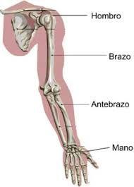 Resultado de imagen para musculos del hombro brazo antebrazo y mano