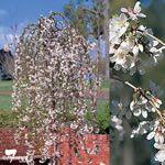 Weeping Crepe. Cultivar Image