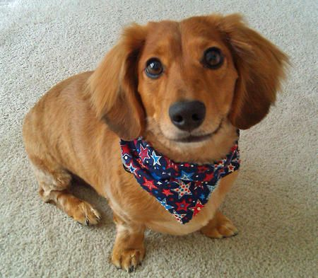 Casanova the Dachshund from The Daily Puppy
