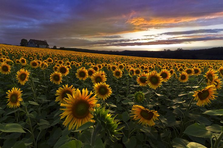 Sunflower Sunset by Debra and Dave Vanderlaan