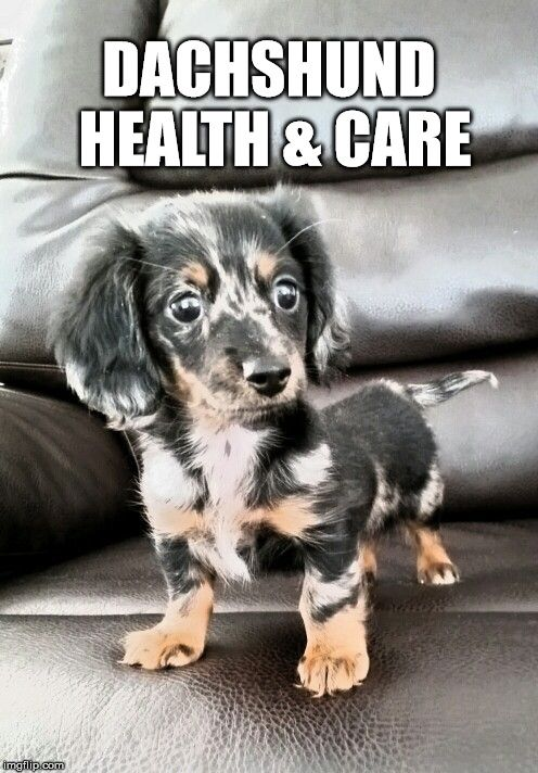 Dachshund Health Care Information Dachshund Gallery Pinterest