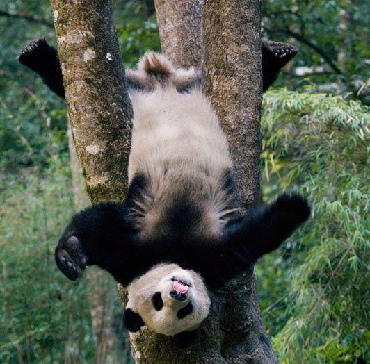"""Just hangin' round ...    Information about Panda's and other bear species here- http://bearwithus.org/8-bears-of-the-world .    Awareness and Understanding can save the life of a bear. This page is for educational use. Allowing people the opportunity to """"Understand Bears."""" https://www.facebook.com/Understanding.Bears    Photo from Wild Nature-photographer not listed."""