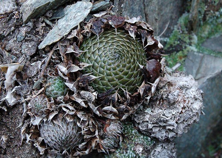 Изображение растения Orostachys spinosa.