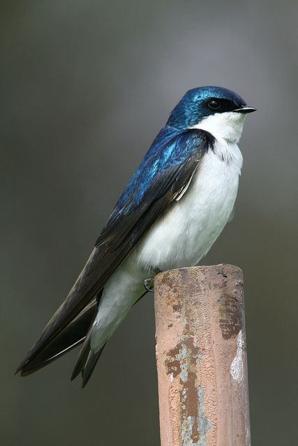 Tree Swallows.  This is what I have in my blue bird house instead of blue birds. Cute little birds.