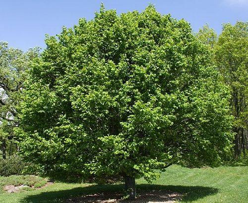 Гороскоп друидов дерево Граб     Зодиак кельтов. Люди рожденные под знаком Граба с 4 по 13 июня и с 2 по 11 декабря